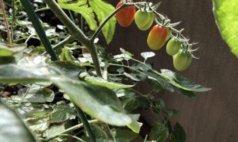 フルーツトマトの収穫